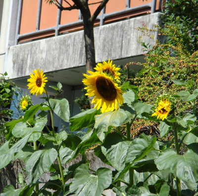 Sunflowers growing on the Balcony