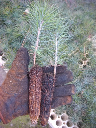 P Pine Grown in Vermiculite (Left) and Charcoal (Right) Media
