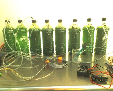 Разведение водорослей в домашних условиях
