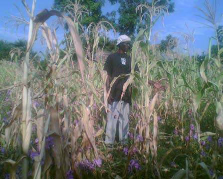 Maize, no compost, no biochar